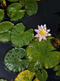 Розовая вод-лилия в пруде с вертикальной перспективой Стоковые Фотографии RF