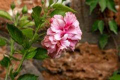 Розовая гвоздика полностью зацветает стоковая фотография rf