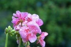 Розовая гвоздика с падениями воды стоковое фото