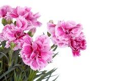 Розовая гвоздика Стоковые Фото