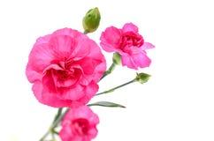 Розовые цветки гвоздики стоковые изображения rf