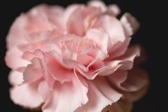 Розовая гвоздика Стоковая Фотография RF