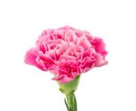 Розовая гвоздика Стоковое Фото