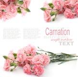 Розовая гвоздика Стоковое Изображение
