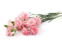 Розовая гвоздика Стоковая Фотография