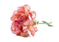 Розовая гвоздика Стоковые Изображения RF