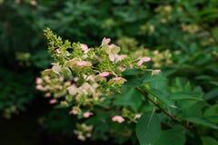 Розовая гортензия в осени Стоковые Фото