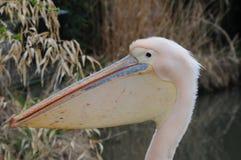 Розовая голова пеликана Стоковая Фотография RF