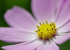 Розовая голова цветка космоса Стоковая Фотография RF