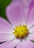 Розовая голова цветка космоса Стоковые Фотографии RF
