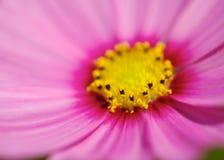 Розовая голова цветка космоса Стоковые Изображения