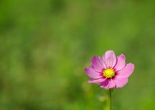 Розовая голова цветка космоса Стоковое фото RF