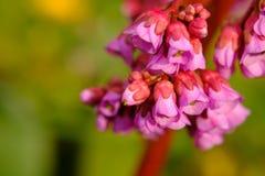 Розовая деталь цветка Стоковое Изображение RF