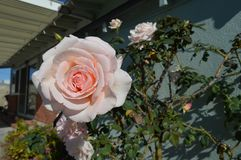 Розовая задняя часть дома полных цветений роз Стоковая Фотография