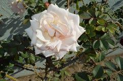 Розовая задняя часть дома полных цветений роз Стоковые Фото
