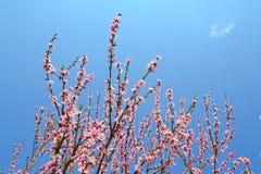 Розовая зацветая ветвь на голубой предпосылке стоковое изображение rf