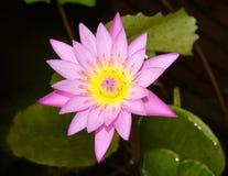 Розовая зацветая лилия на воде пруда Стоковые Изображения