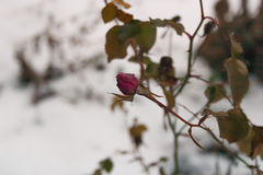 розовая зима Стоковое Фото