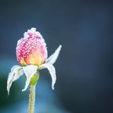 розовая зима Стоковая Фотография RF