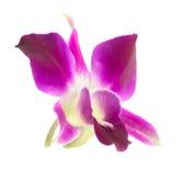Розовая изолированная орхидея Стоковые Изображения RF