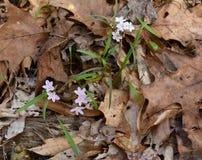 Розовая и белая красота весны цветет с тонкими зелеными листьями Стоковые Фото