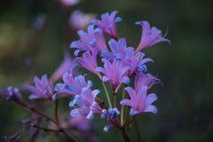 Розовая и голубая солодка в outdoo стоковое фото