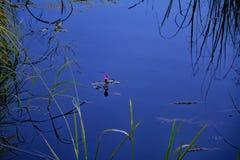 Розовая лилия воды в рве Стоковая Фотография