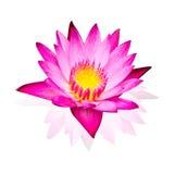 Розовая лилия воды изолированная на белой предпосылке Стоковая Фотография