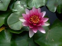 Розовая лилия воды на зеленых листьях стоковая фотография rf