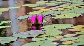 Розовая лилия воды на lilypads в пруде Стоковая Фотография RF