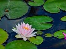 Розовая лилия воды на lilypads в пруде Стоковые Фото