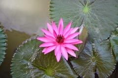 Розовая лилия воды, лотос Стоковая Фотография RF