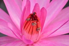 Розовая лилия воды Стоковая Фотография