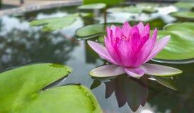 Розовая лилия воды Стоковые Изображения RF