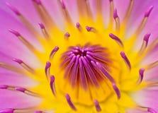 Розовая лилия желтой воды для абстрактной предпосылки Стоковая Фотография