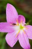 Розовая лилия дождя Стоковая Фотография