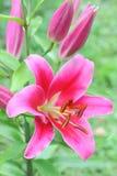 Розовая лилия с бутонами на ветви Стоковое Изображение