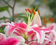 Розовая лилия тигра на зеленой предпосылке Стоковая Фотография RF