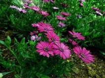 Розовая лилия Folower Стоковая Фотография