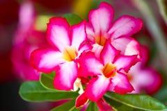 Розовая лилия impala Стоковая Фотография