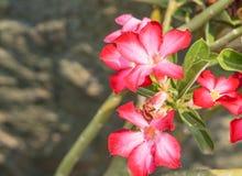 Розовая лилия impala Стоковые Изображения