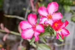 Розовая лилия impala Стоковые Фото