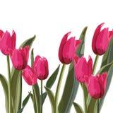 Розовая иллюстрация вектора тюльпанов Стоковые Изображения RF