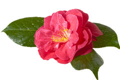 Розовая камелия Стоковые Фото