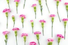 Розовая картина цветков гвоздики Стоковое Изображение