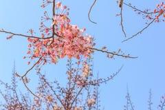 Розовая кассия или розовый ливень Стоковое Фото