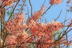 Розовая кассия или розовый ливень Стоковая Фотография