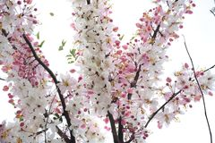 Розовая кассия, розовый ливень Стоковая Фотография RF