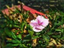 Розовая красота стоковые фотографии rf