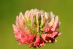 Розовая красотка Стоковые Изображения